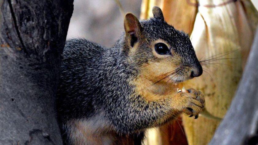 Grey Squirrel seen at Descanso Gardens.