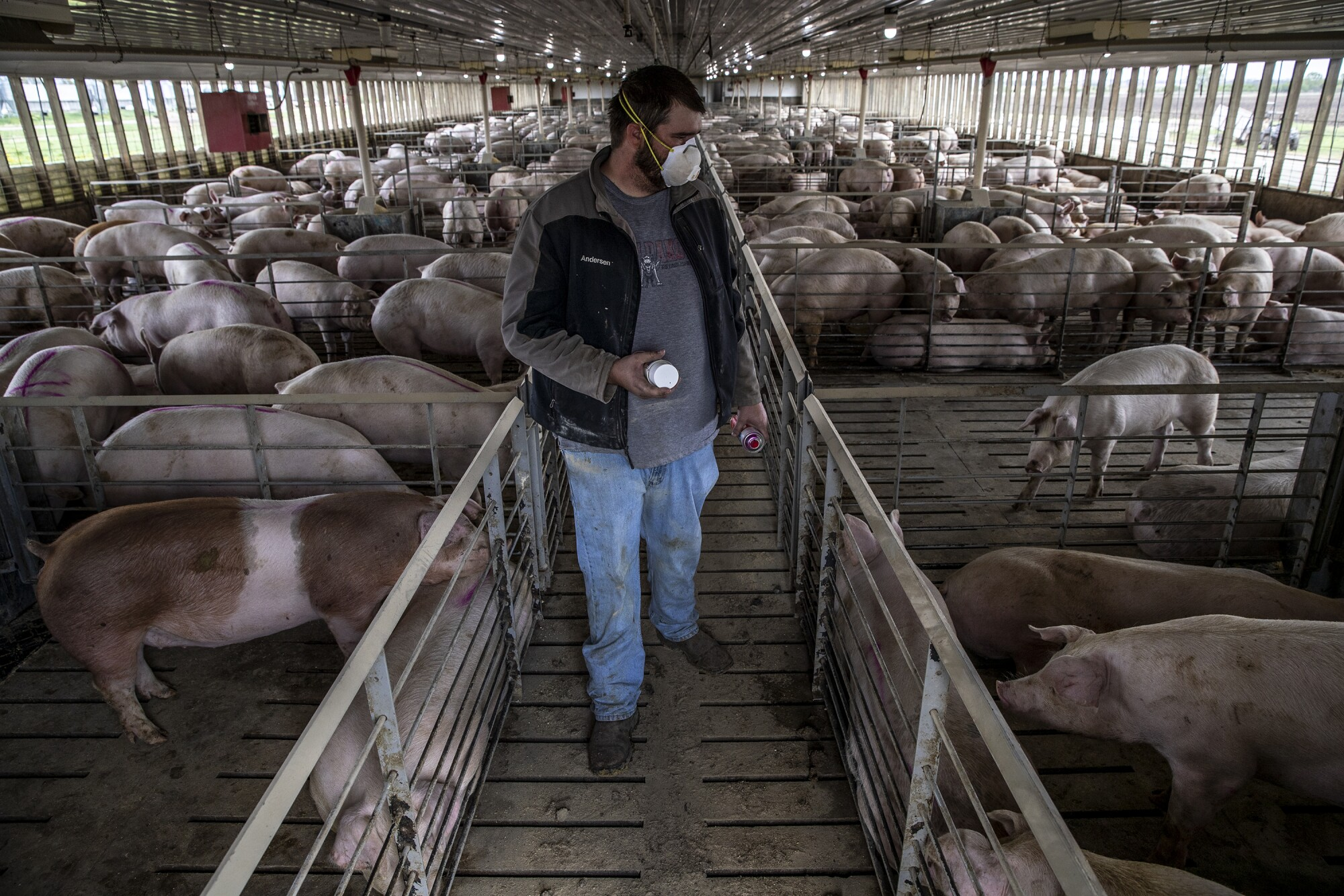Hog farmer Jacob Anderson marks pigs for shipment to a plant in Sioux City, Iowa.