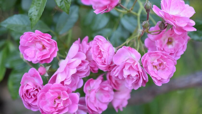 Excellent Von Schubert is a very fragrant 1909 shrub rose with lilac pink pompons on long arching ca