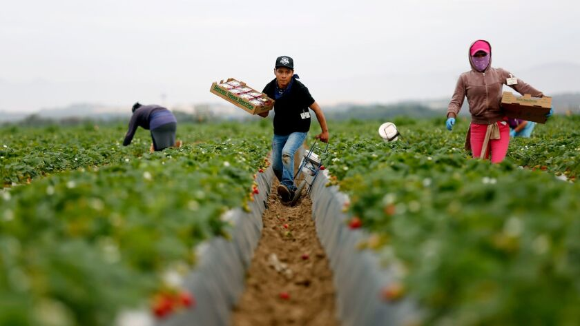 GUADALUPE, CALIF. -- THURSDAY, APRIL 6, 2017: José Gonzalez, of Oaxaca, Mexico, a local farmworker,