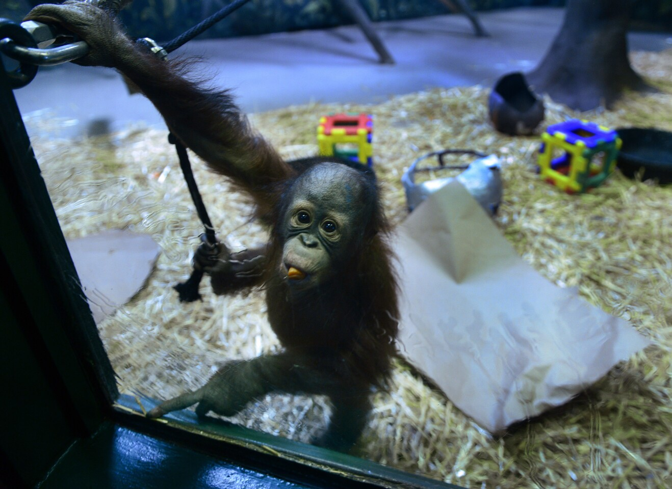 Tuah, a 1-year-old orangutan, appears in his enclosure at the Salt Lake City zoo, Thursday, Feb. 4, 2016. Tuah has predicted the Carolina Panthers will win the Super Bowl. Zoo spokeswoman Erica Hansen said the orangutan chewed up a cardboard Panthers sign and later kissed a papier-mache Panthers helmet. Hansen says he never touched the Denver Broncos sign or helmet. This was Tuah's first time handling the duties. His dad picked seven straight winners before dying in 2015. (Scott Sommerdorf /The Salt Lake Tribune via AP) DESERET NEWS OUT; LOCAL TELEVISION OUT; MAGS OUT; MANDATORY CREDIT