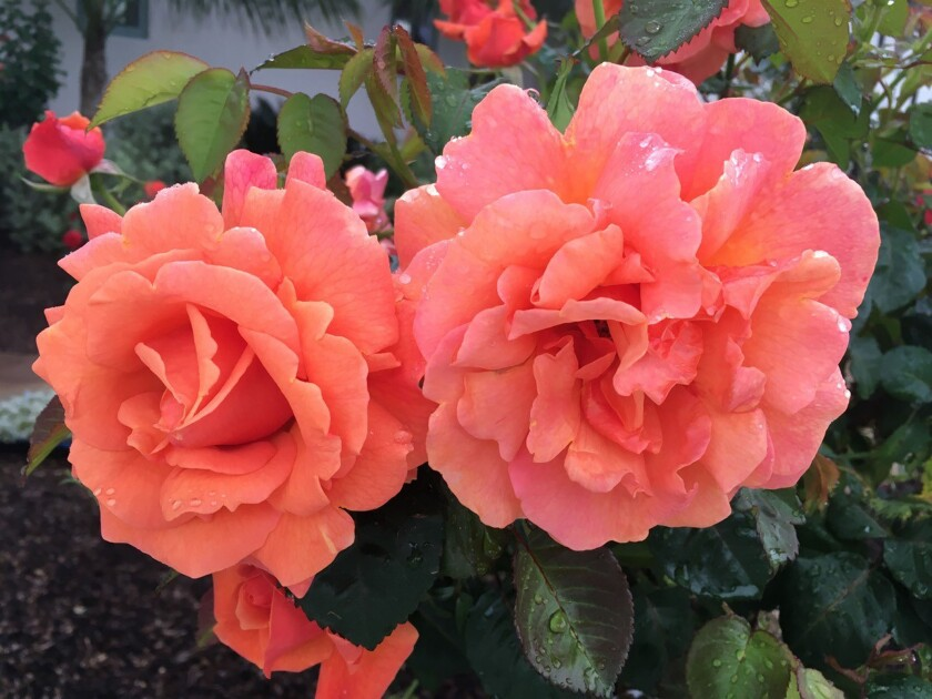 'Easy Going' is a salmon-colored floribunda that is disease-resistant.