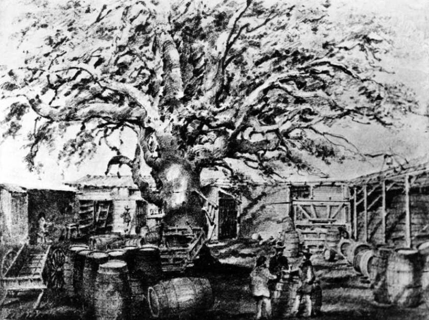 A 19th century drawing by Edward Vischer of the ancient sycamore tree known as El Aliso.