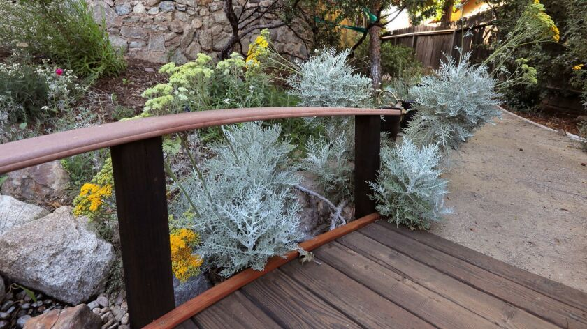 Catalina Silverlace grows near a pathway bridge in the native plant garden at the home of Greg Rubin.