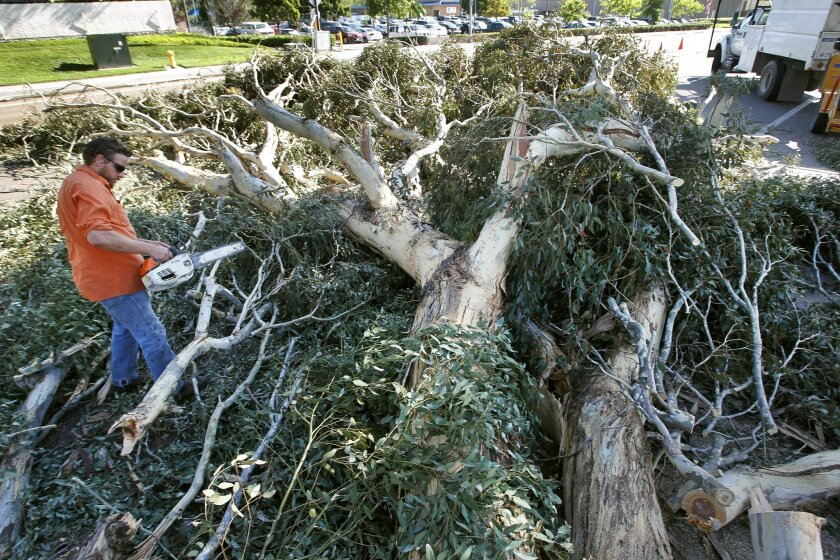 City worker Gary Foulkes uses a chainsaw to cut up a eucalyptus tree that fell across the west end of Friars Road in San Diego on Wednesday. The downed tree, which was blown over by strong Santa Ana winds, closed the west bound lanes of Friars Road for hours.