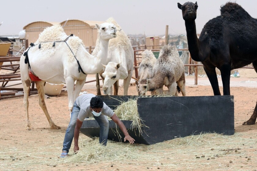 A worker wears a protective mask as he feeds camels on a farm outside Riyadh, Saudi Arabia. Scientists believe camels are involved in the transmission of the deadly MERS virus.