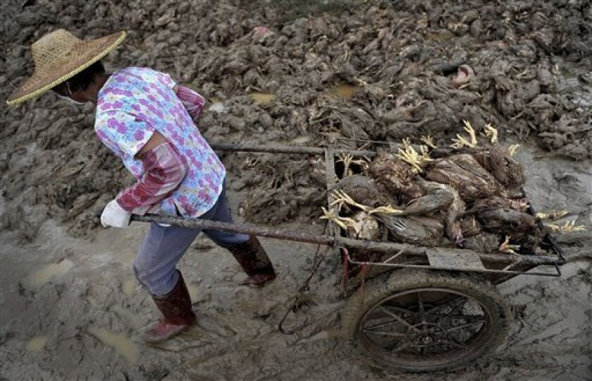 In this Tuesday, Sept. 21, 2010 photo, a farmer uses a cart to carry away dead chickens killed in the flood triggered by Typhoon Fanapi at a chicken farm in Gaoming in south China's Guangdong province. Flooding and landslides from the typhoon killed 13 people in southern China and left at least 33