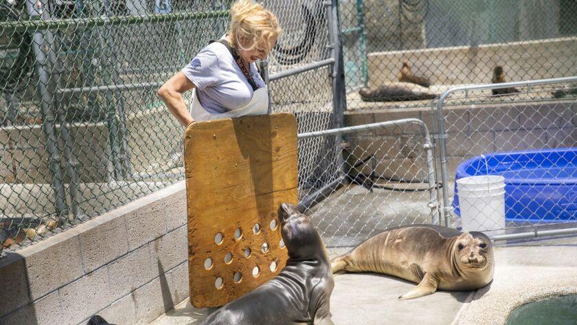 SAN PEDRO, CA--JUNE 23, 2019--Volunteer Ruby Kumagai uses a herding board to protect herself when en