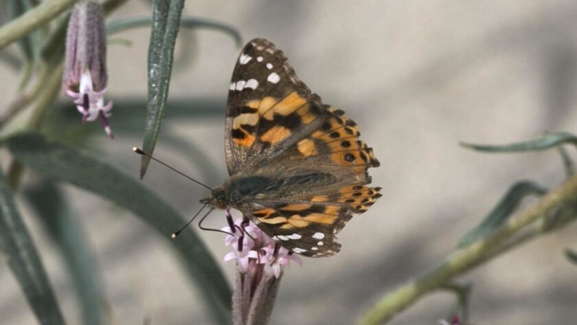 File art of a painted lady butterfly on a sprig of Spanish Needle wildflower off of the north end of Di Giorgio road in Borrego Springs.