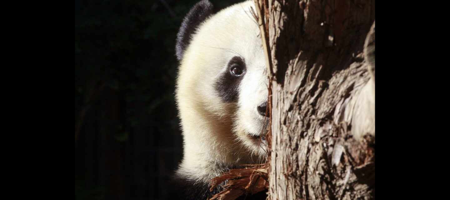 Xiao Liwu, a young male giant panda that was born at the San Diego Zoo, peeks around a log as he chews on some bark.