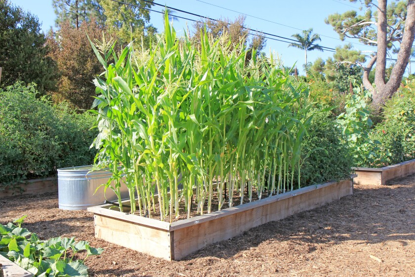 Garden mastery: Plain facts on growing sweet corn - The ...