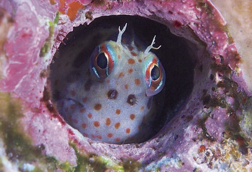 A red-spotted Blenny, with head ornaments, has settled in a convenient cavity in the reef.
