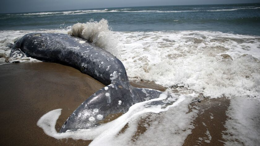 Another Dead Whale Washes Ashore In The San Francisco Bay Area