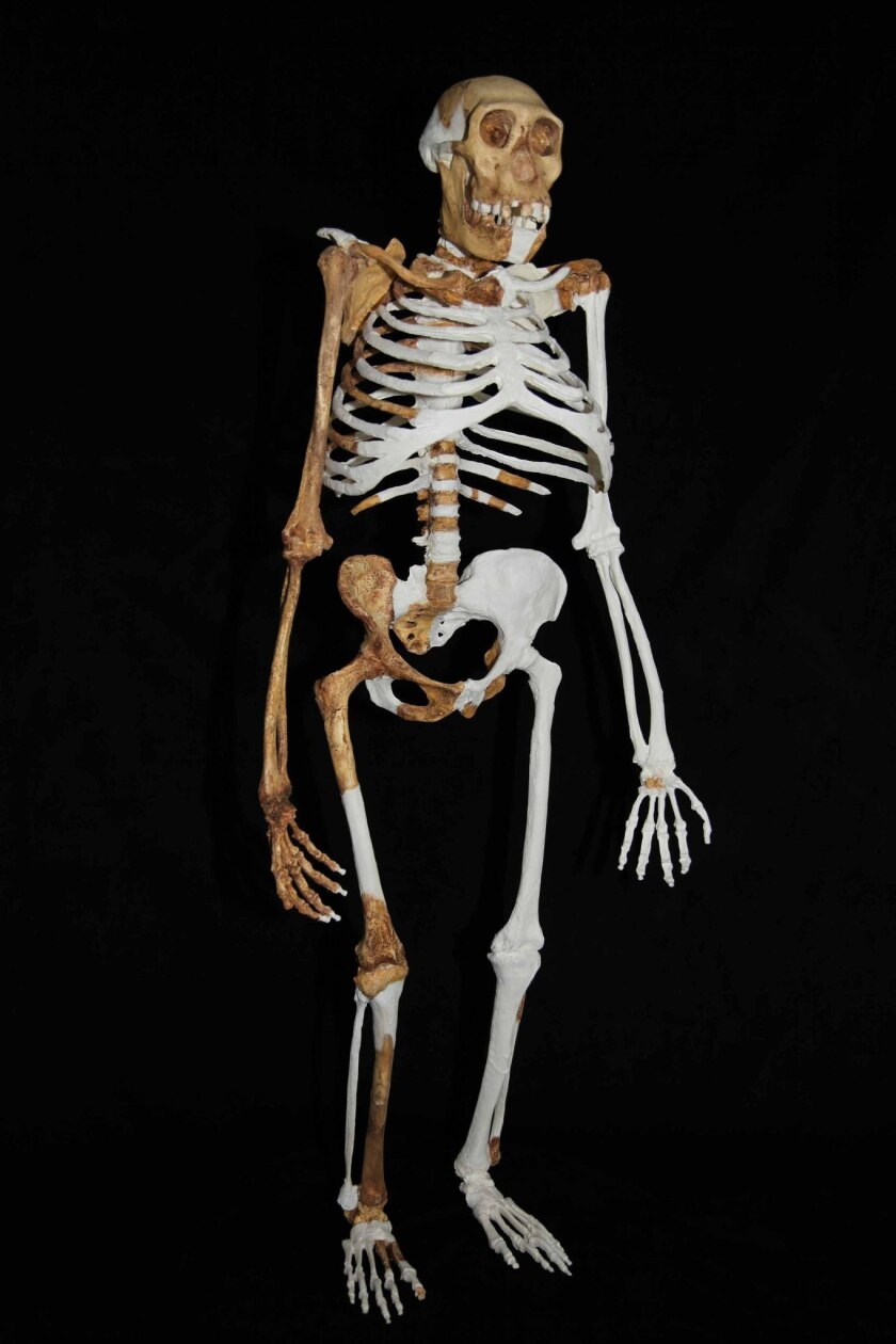 This composite reconstruction of an Australopithecus sediba specimen is based on fossils found in South Africa in 2008.