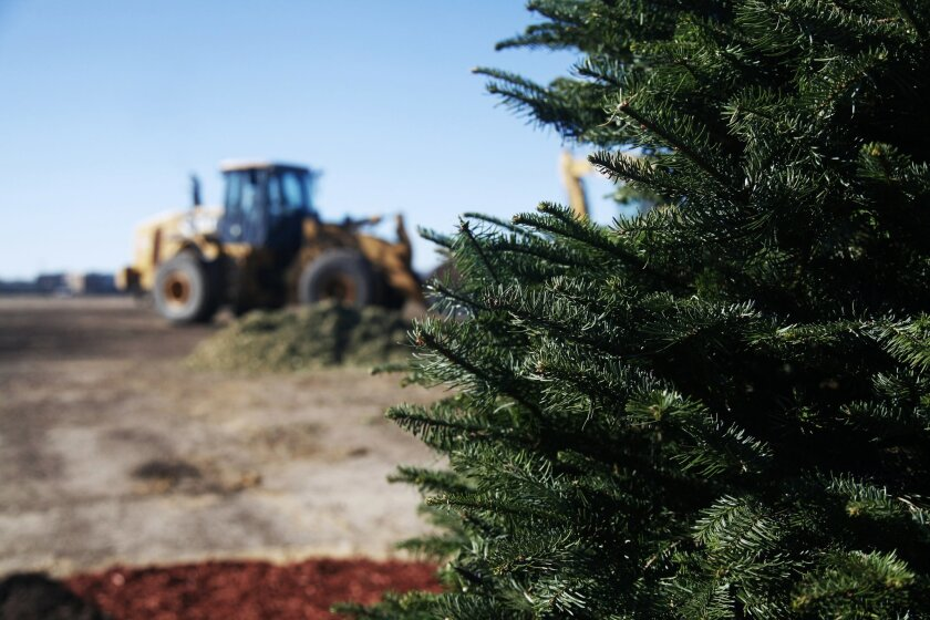 The City of San Diego Environmental Services along with the Miramar Greenery launched the 40th annual christmas tree recycling program. There will be 16 drop-off locations available to San Diego residents. U-T Photo by Christian Rodas