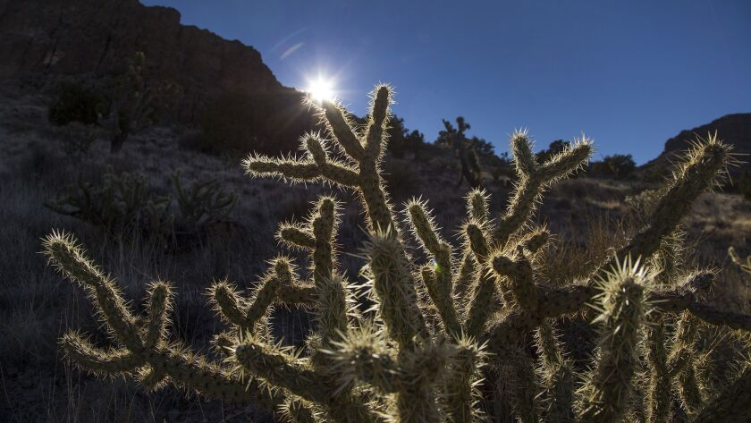 MOJAVE DESERT, CA - JANUARY 28, 2016: A cholla cactus is backlit by the setting sun in the Mojave De