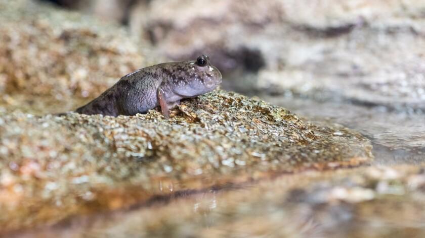 A mudskipper