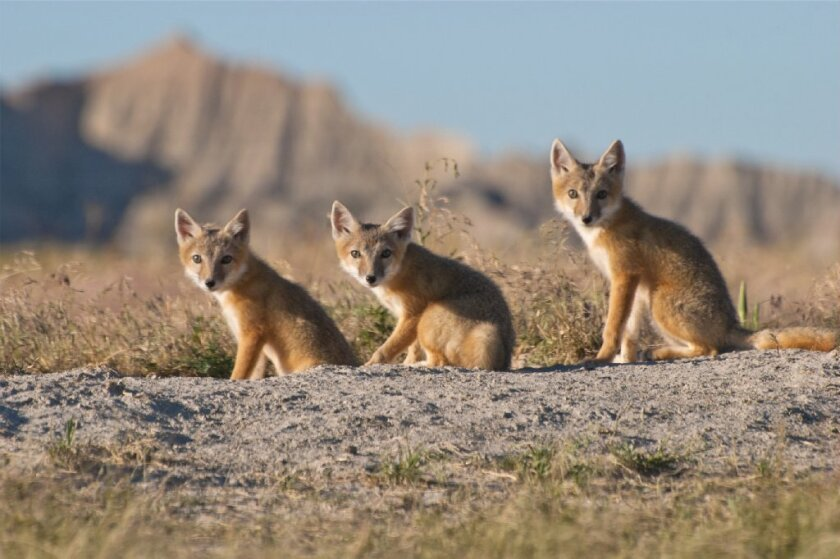 """Swift foxes are among the 110 species seen in the Discovery Channel documentary nature series """"North America."""""""