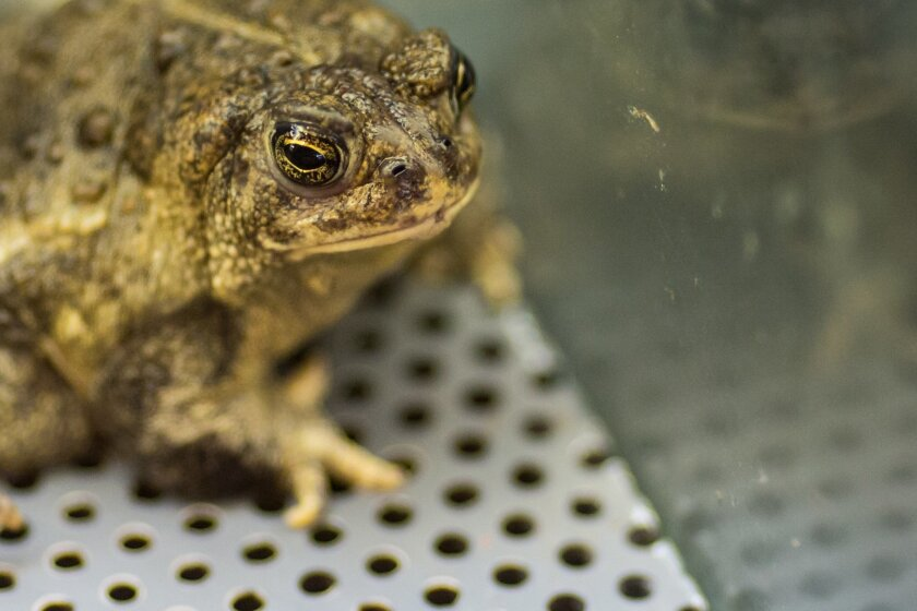 FILE--In this July 16, 2015, file photo, a large Wyoming toad looks out from inside its enclosure at the Saratoga National Fish Hatchery in Saratoga, Wyo. The U.S. Fish and Wildlife Service plans to release Wyoming toads from the hatchery near Laramie, Wyo., Wednesday, June 1, 2016. The release of
