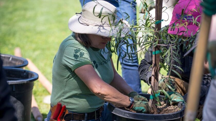 VAN NUYS, CA-- TreePeople's lead arborist, Linda Eremita, preparing a tree to come out of it's pot.