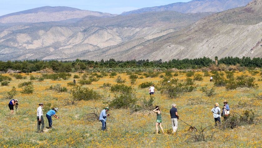 Hundreds of thousands of visitors came to Borrego Springs and the surrounding Anza-Borrego Desert State Park last March to view a Super Bloom of desert wildflowers. Lack of rain this winter pretty much has doomed a repeat this spring.