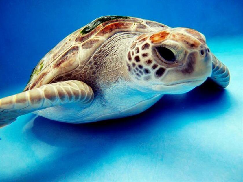 Veintidós tortugas verdes marinas en mal estado de salud que fueron rescatadas en un playa de Florida cubiertas de líquenes fueron trasladadas a un hospital de quelonios en la localidad de Marathon, en los Cayos. EFE/Archivo