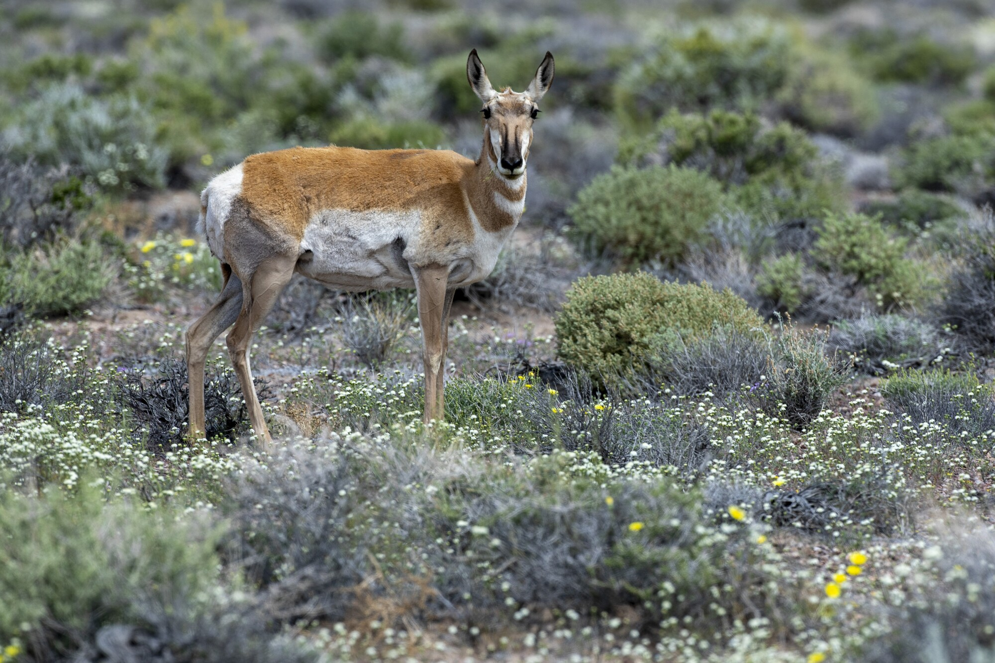 A female pronghorn pauses while eating wildflowers along a highway near the Mojave Desert town of Beatty, Nev. It is unclear why the creatures are returning to the unforgiving desert in and around Death Valley National Park.