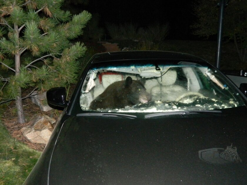 In this Oct. 6, 2014 photo provided by the Douglas County Sheriff's Office, a black bear tears apart a car interior while trying to escape the vehicle after foraging for food inside, in Castle Pines, Colo. Bears are common in the area, drawn to berries that are plentiful after a wet year. However, bears need to eat 20,000 calories a day, which is the equivalent of 38 Big Macs, as they prepare for hibernation, and state Parks and Wildlife spokeswoman Jennifer Churchill says human food left outside offers a much easier way to get them. (AP Photo/Douglas County Sheriff's Office)
