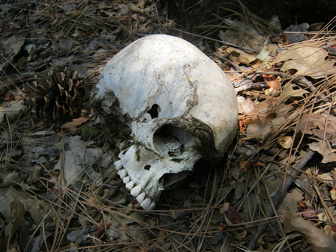A skull on the floor of Stanislaus National Forest