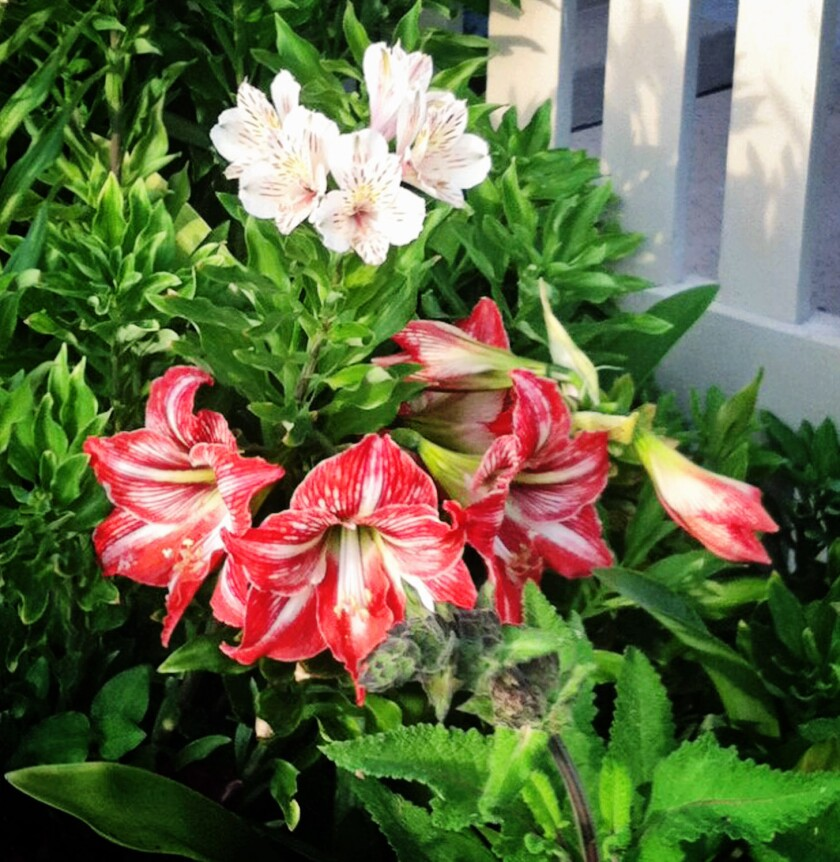 """""""Forcing"""" amaryllis bulbs indoors requires special care, but the end result are these colorful blooms."""