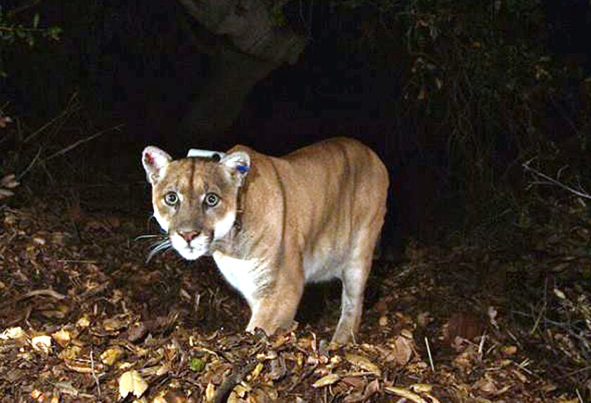 Mountain lion P-22