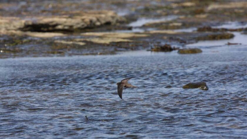A common swift flies above the water.