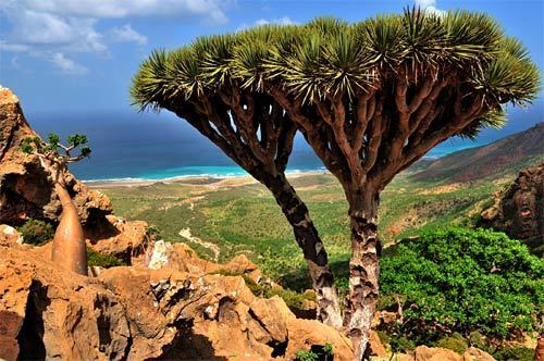 """Isolated from continental land masses for 18 million years, Yemen's Socotra Island showcases an alien-like landscape with unusual plants and animals, such as the blood dragon tree, pictured, and desert rose. Its high degree of biodiversity has earned it the name the """"Galápagos of the Indian Ocean."""""""