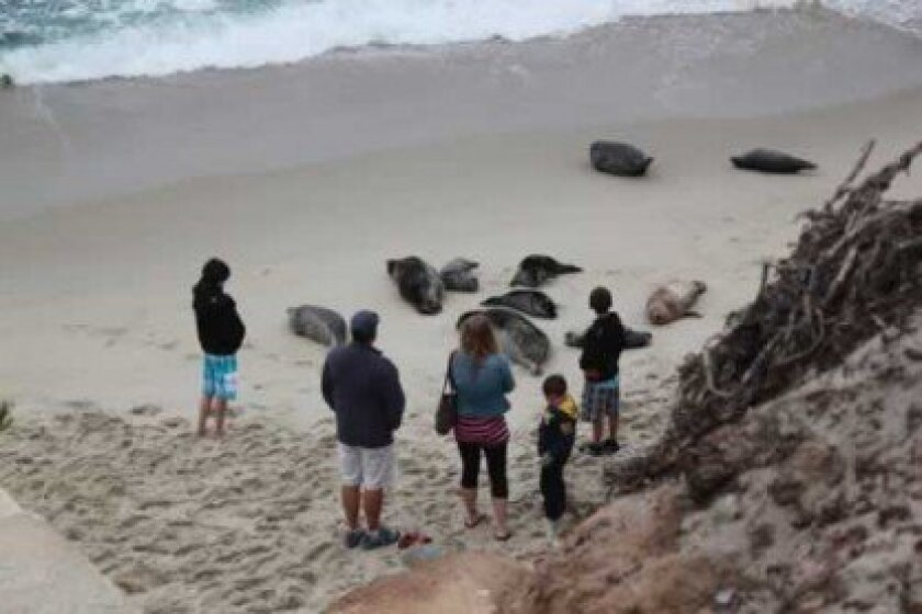 A scene at Children's Pool in La Jolla last week where visitors are seen close to the pinnipeds.
