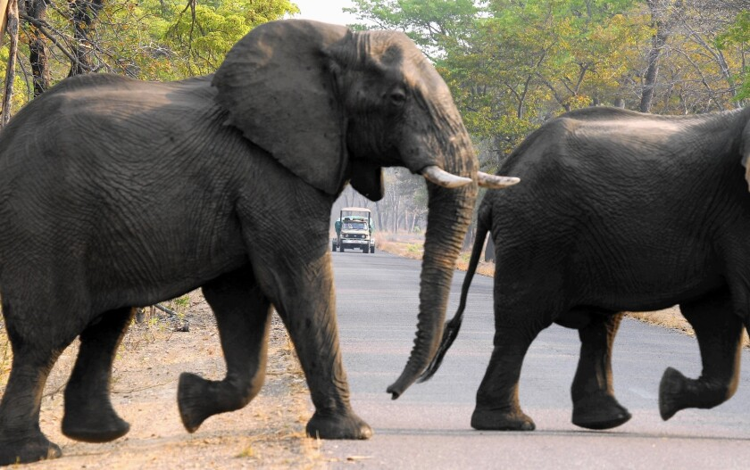 Elephants cross a road in Zimbabwe's Hwange National Park, where 26 pachyderms had been found poisoned in recent days at two sites.