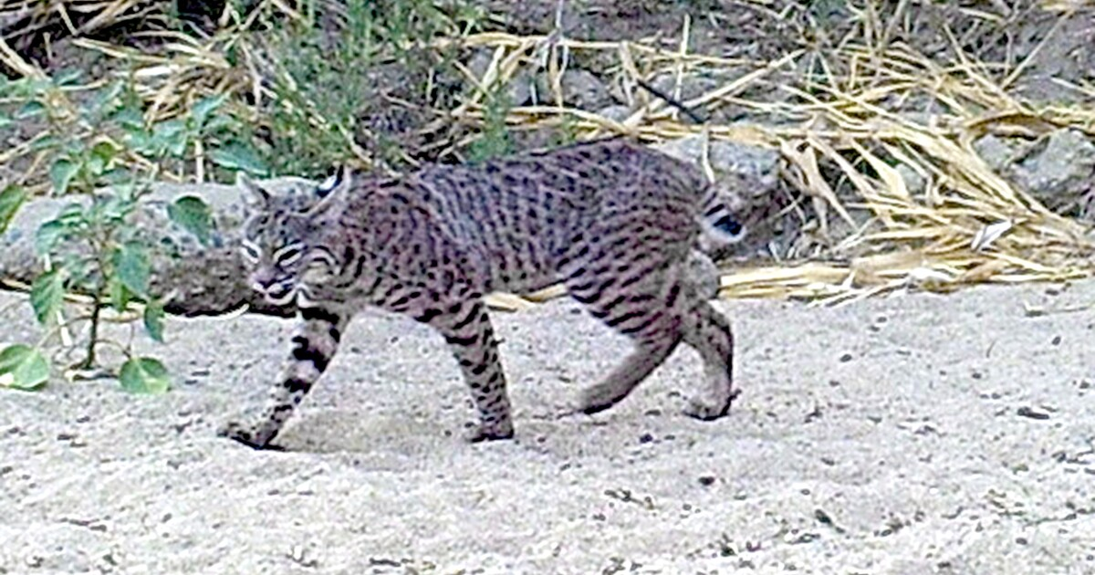 Big cats visiting restored site in San Pasqual Valley