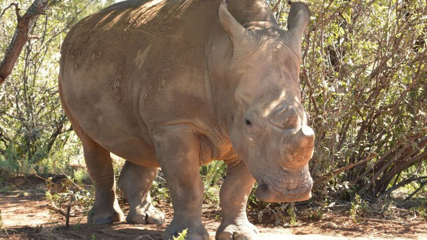 South Africa's poaching crisis is so severe that many private rhino owners trim their animals' horns