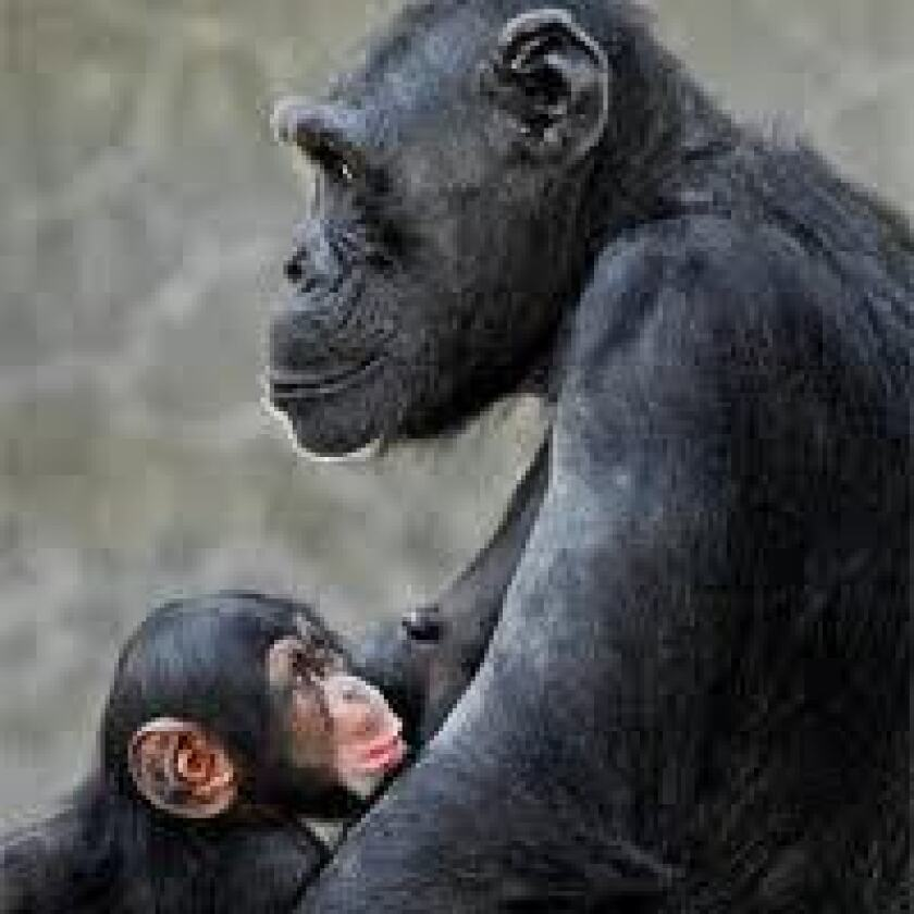 Zoo visitors watch as baby chimpanzee killed by adult chimpanzee