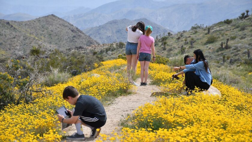 Hikers pause among spring blooms, including a few poppies, along Pinto Basin Road in Joshua Tree Nat