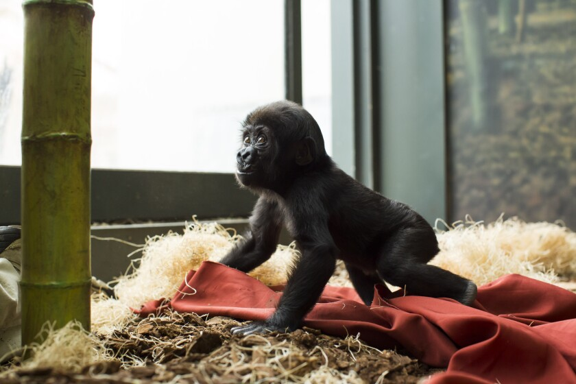 Nayembi, a baby gorilla, plays on hotel sheets donated from the Hilton Chicago/Oakbrook Hills Resort & Conference Center.