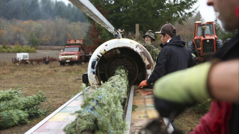 Christmas trees get bailed in Cheshire, Ore., and will be shipped to Idaho, Thursday, Nov. 28th, 201