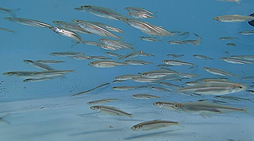 Federally endangered Delta Smelt hatched at the UC Davis Fish Conservation & Culture Lab, swim around a holding tank