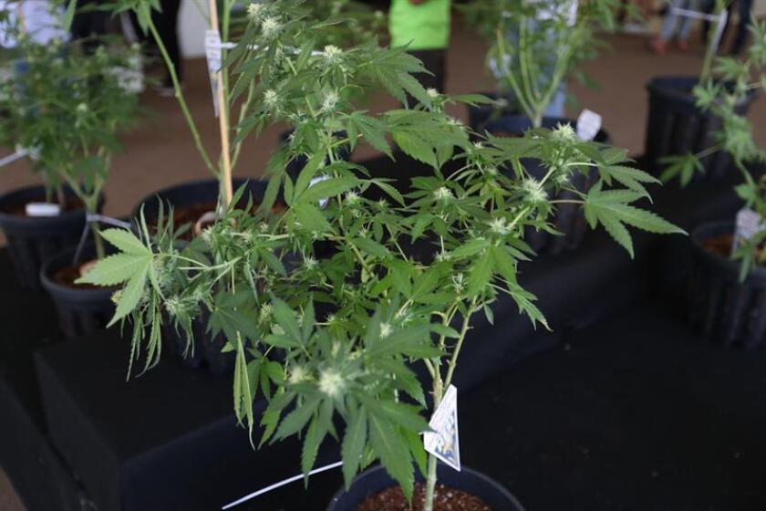 Vista de una planta de cannabis. EFE/Archivo