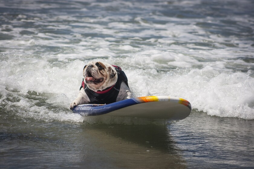 A dog rides the waves at the Helen Woodward Surf Dog Surf-A-Thon in 2019.