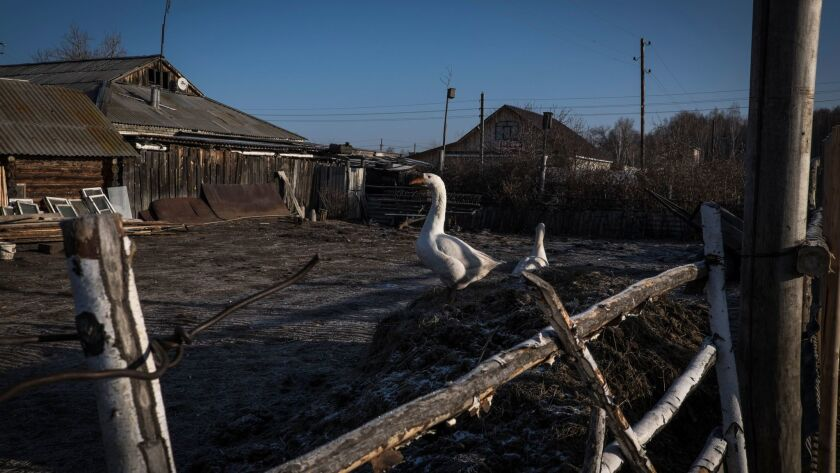 The gooses are seen in the village Khudaiberdinsk, located near Mayak nuclear factory. Most of the l