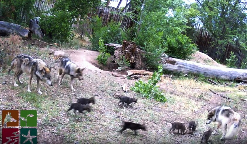 This June 3, 2020 image taken from a Web camera provided by ABQ BioPark shows Mexican gray wolf parents play with their second litter of seven pups born in May, who recently came out of their underground den for the first time to explore their environment at the ABQ BioPark in Albuquerque, N.M. (ABQ BioPark via AP)