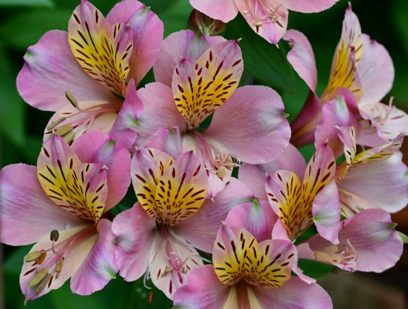 Alstroemeria / Peruvian Lily