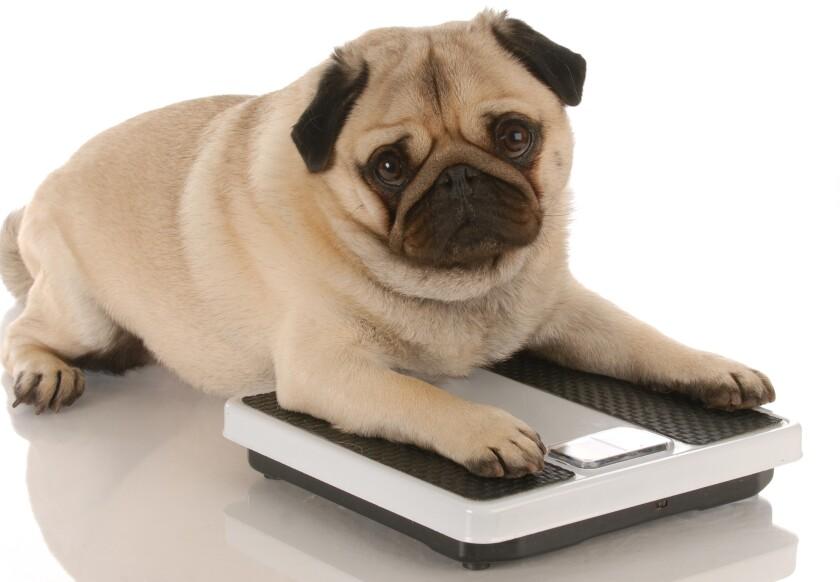 animal obesity