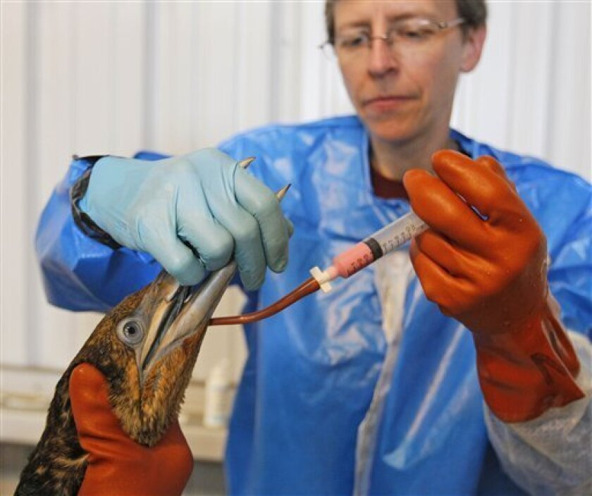 Dr. Erica Miller, with Tri-State Bird Rescue and Research, works to give a dose of Pepto-Bismol to a Northern Gannet bird,  normally white when full grown, which is covered in oil from a massive spill in the Gulf of Mexico, at a facility in Fort Jackson, La., Friday, April 30, 2010.(AP Photo/Alex B