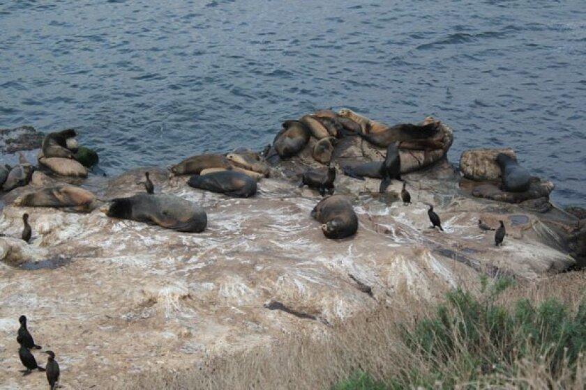 Sea lions at La Jolla Cove. Photo: Dave Schwab
